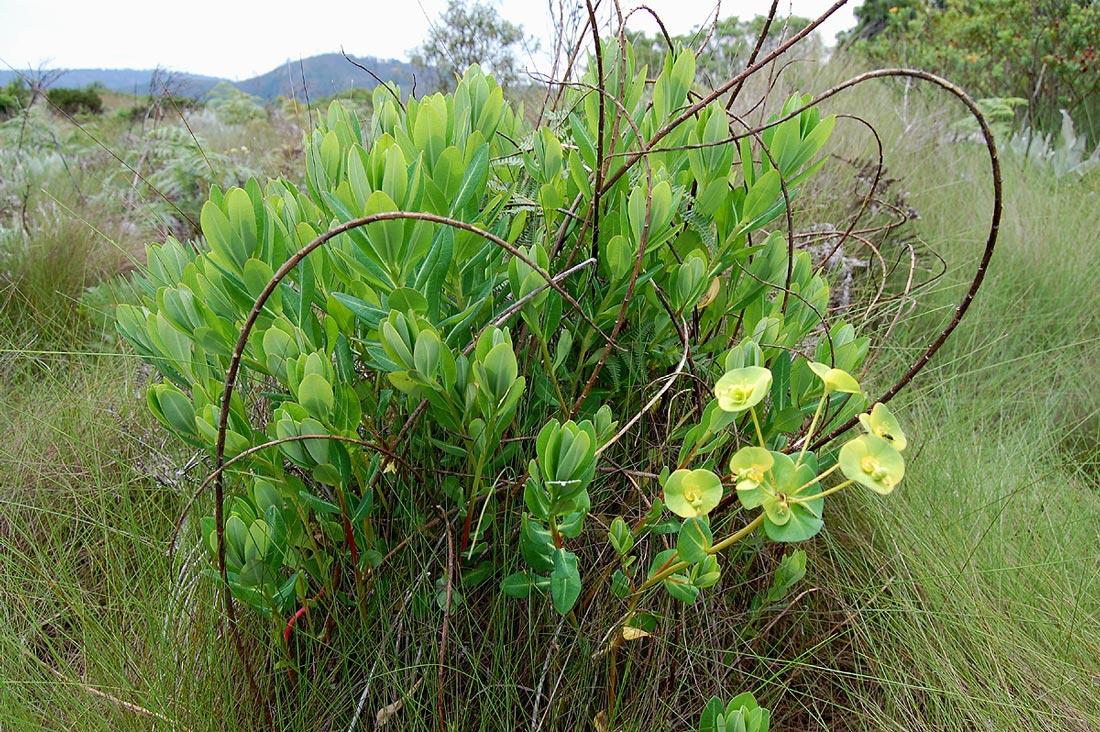 Euphorbia depauperata var. tsetserrensis