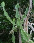Euphorbia halipedicola