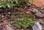 Euphorbia indica
