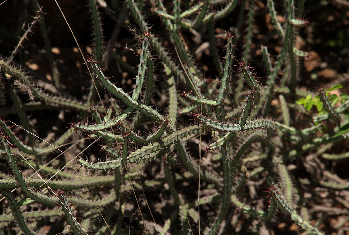 Euphorbia malevola