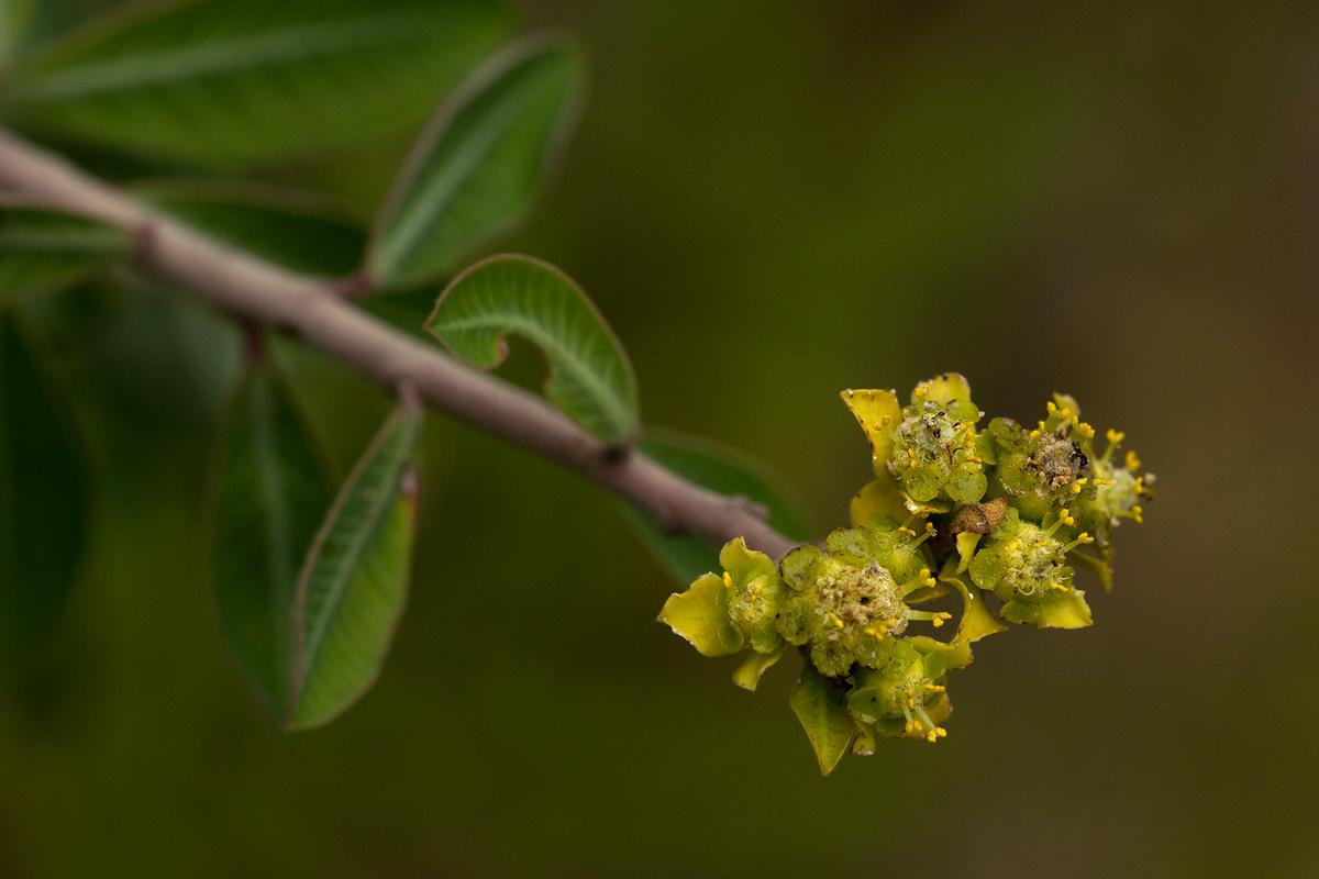 Euphorbia matabelensis