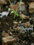 Euphorbia neopolycnemoides