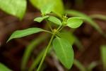 Euphorbia transvaalensis