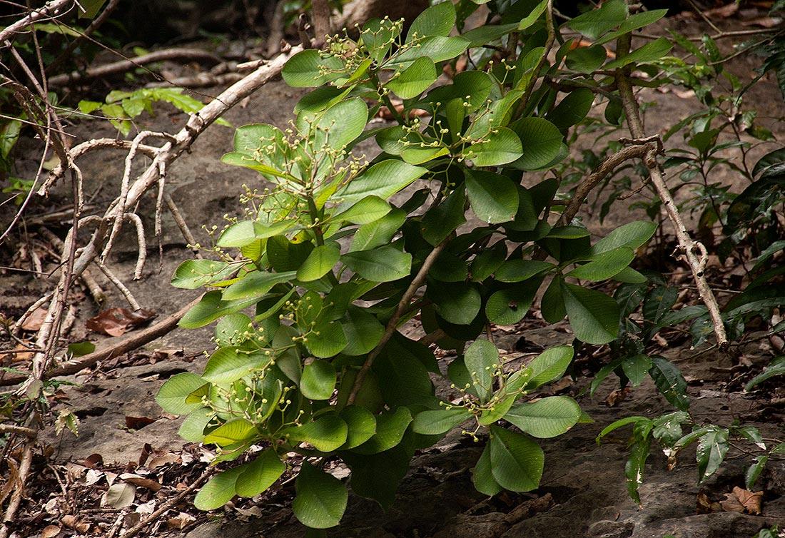 Synadenium kirkii
