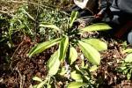 Monadenium lugardiae
