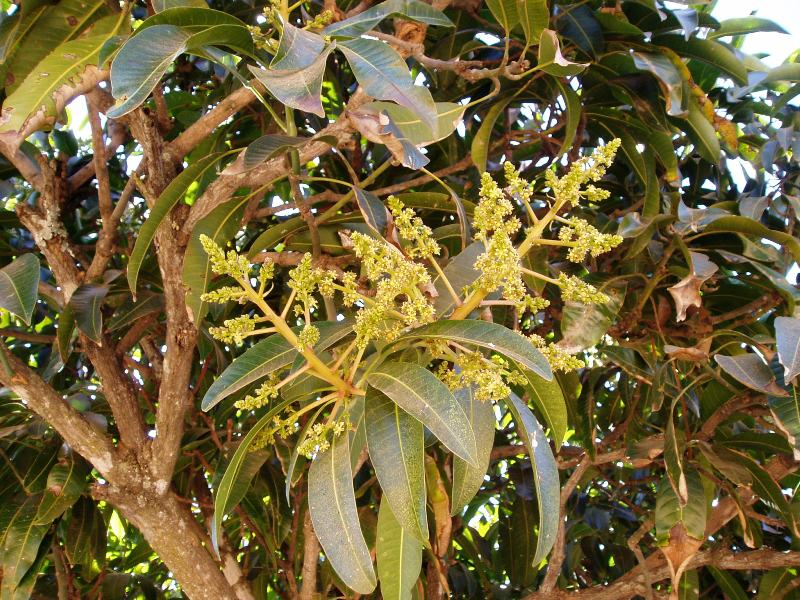 mangifera indica l Mangifera is a genus of flowering plants in the cashew family, anacardiaceae it contains approximately 69 species, with the best-known being the common mango.