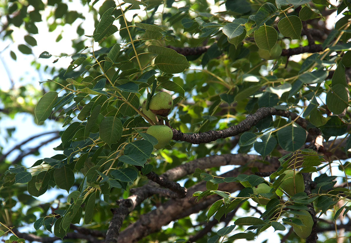 File:Marula (Sclerocarya birrea) fruits and leaves (12907256475 ...