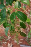 Rhus chirindensis