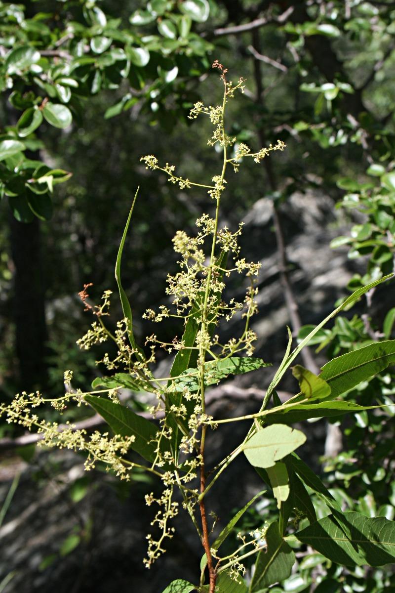 Searsia leptodictya