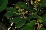 Searsia longipes var. longipes