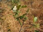 Searsia lucens