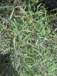Searsia magalismontana subsp. trifoliolata