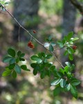 Rhus natalensis