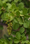 Searsia pyroides var. gracilis