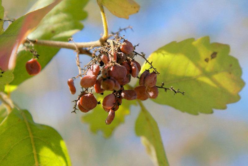 Searsia tenuinervis