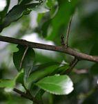 Gymnosporia harveyana subsp. harveyana