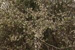 Gymnosporia putterlickioides