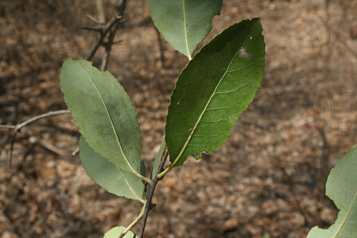 Elaeodendron matabelicum