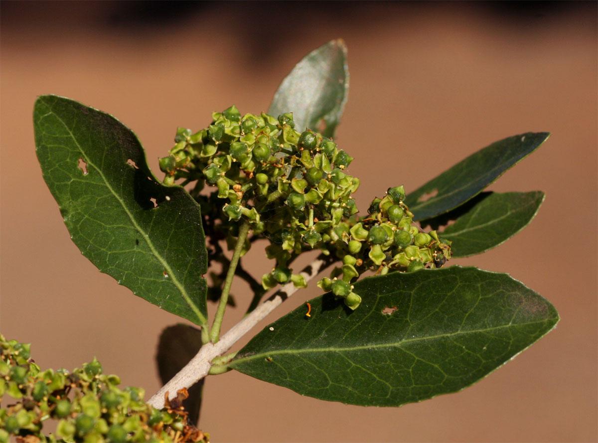 Elaeodendron transvaalense