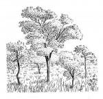 Pleurostylia africana