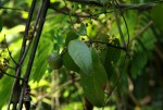 Salacia leptoclada