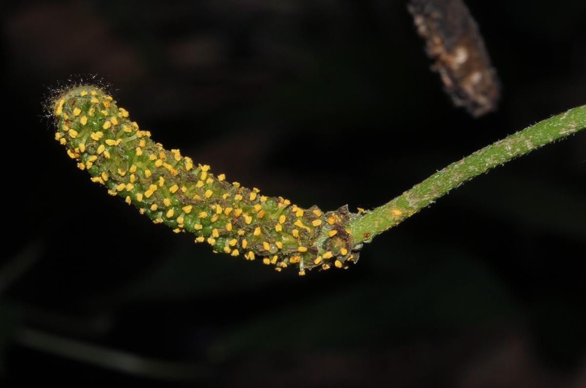 Pyrenacantha kaurabassana