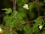 Cardiospermum halicacabum var. microcarpum