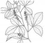 Allophylus africanus