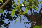 Allophylus chaunostachys
