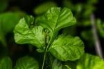Allophylus rubifolius var. rubifolius