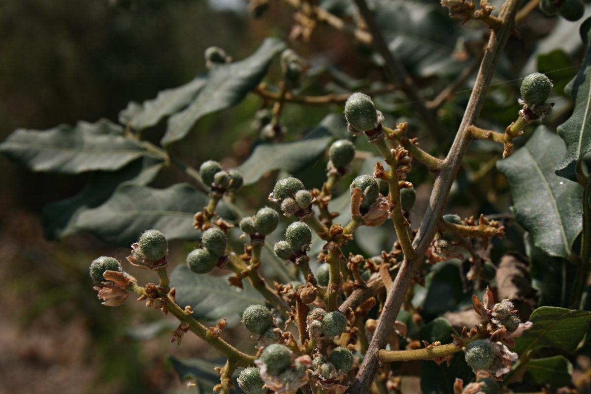 Deinbollia xanthocarpa