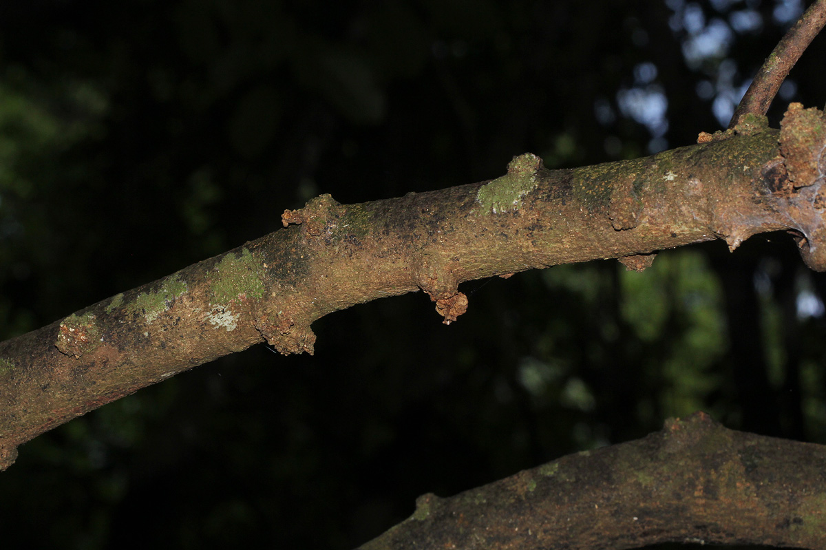 Pancovia golungensis