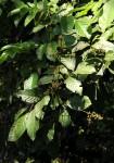 Aporrhiza paniculata