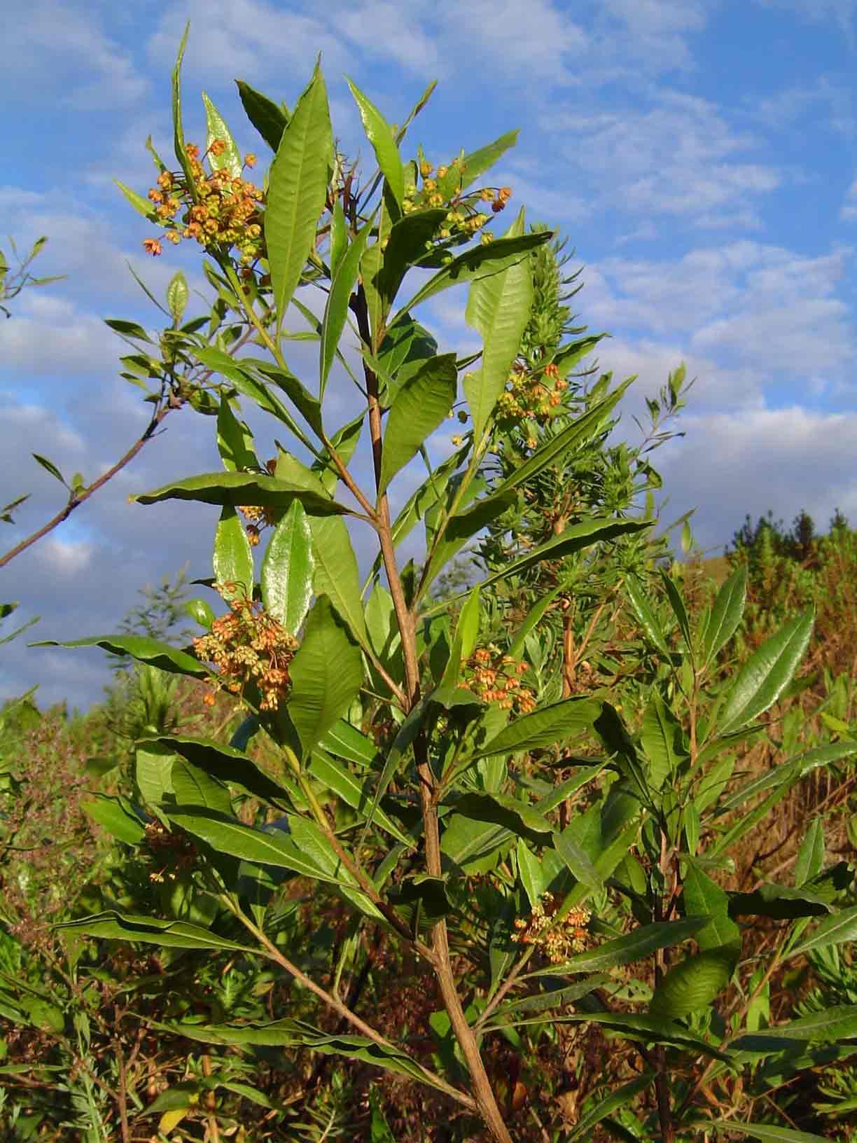 Dodonaea viscosa subsp. angustifolia
