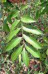 Zanha golungensis