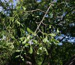 Ptaeroxylon obliquum
