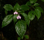 Impatiens cecilii subsp. cecilii