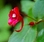 Impatiens salpinx