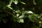 Ziziphus pubescens subsp. pubescens