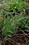 Ziziphus zeyheriana