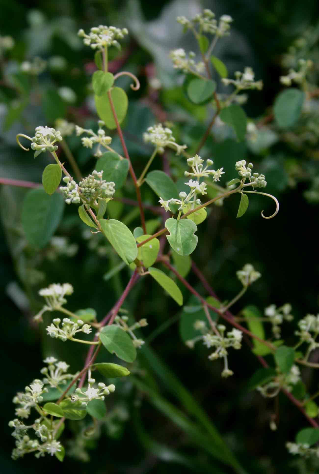 Helinus mystacinus