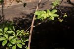 Ampelocissus obtusata subsp. kirkiana