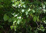 Cissus integrifolia