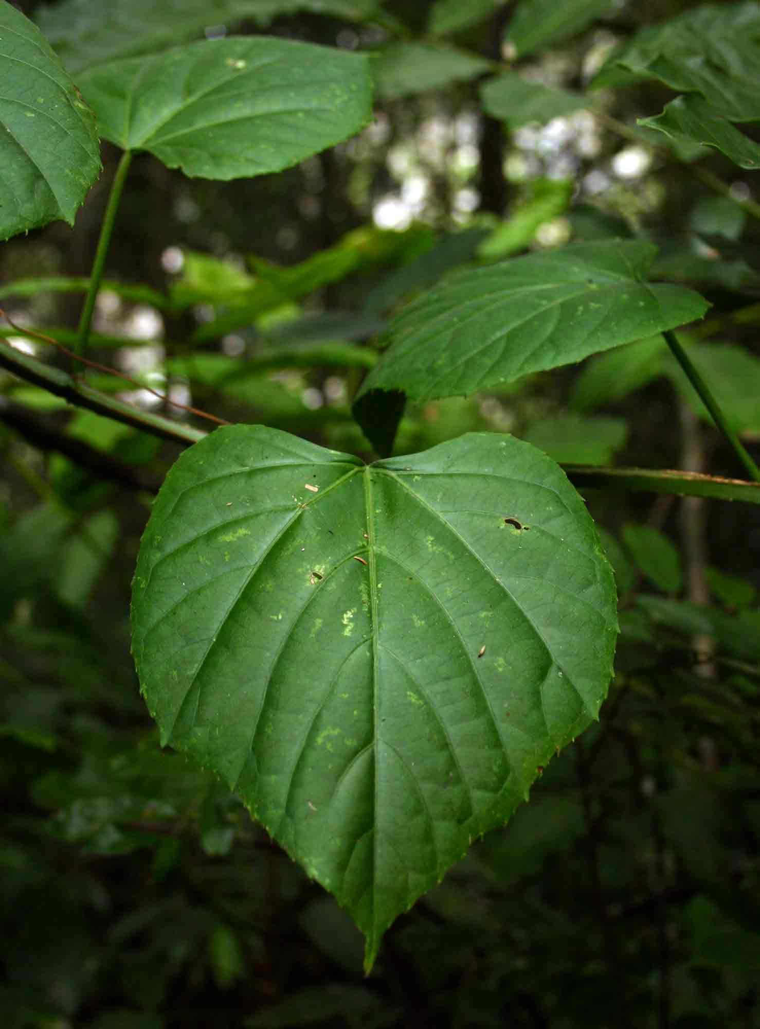 Cissus petiolata