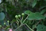 Cissus welwitschii
