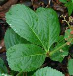 Cyphostemma crotalarioides