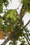 Cyphostemma kirkianum