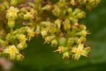 Cyphostemma montanum