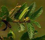 Corchorus aestuans
