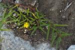 Corchorus asplenifolius